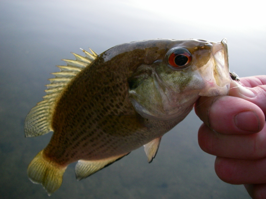 Bluegill rock bass fly fishing current works guide service for Fly fishing for bluegill