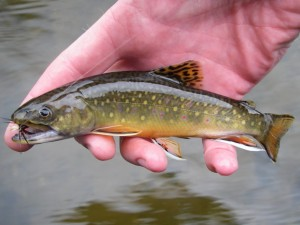 Boardman River Brook Trout