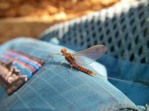 Boardman River - Fly Fishing and Matching the Hatch