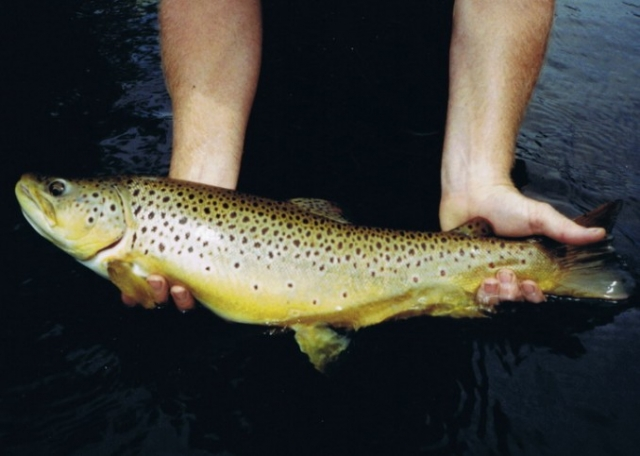Gallery - Stonefly Eating Brown Trout