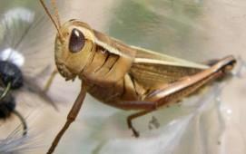 Terrestrial - Grasshopper
