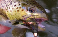 Trout - Brown Trout and Streamer