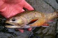 Upper Manistee River Brook Trout