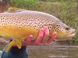 Upper Manistee River - Streamer Eating Brown Trout