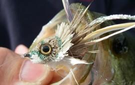 Largemouth Bass - Close up