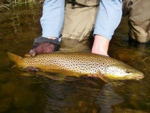 Seductive Streamer Brown Trout Success II