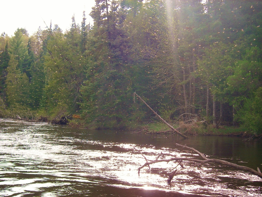 May fly fishing michigan mayfly hatches current works for Fly fishing michigan