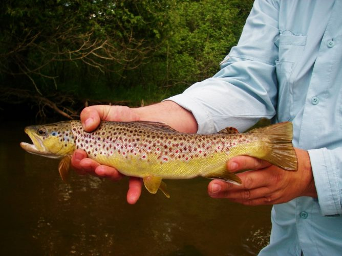 A Fly Deer Fly Pattern Brown Trout